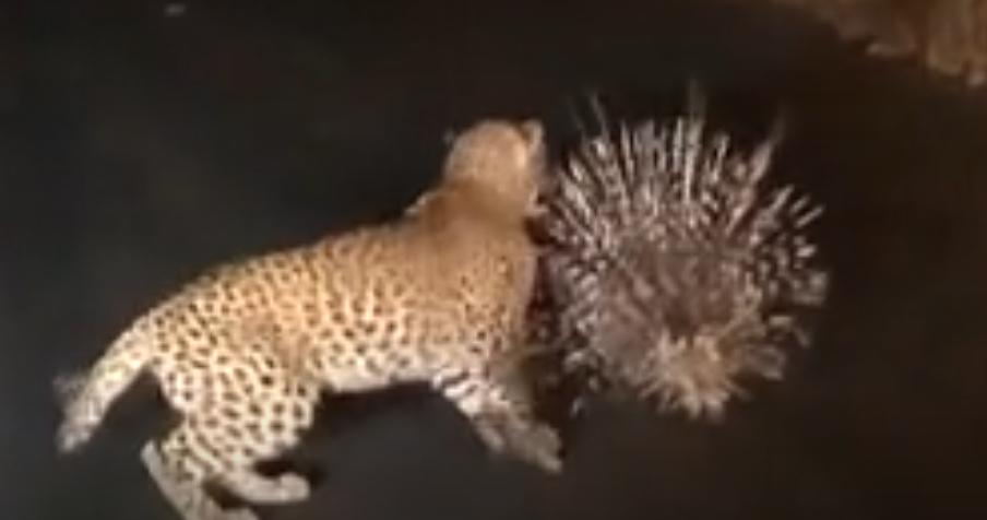 豹子与豪猪的对决, 无奈一身刺下去不嘴 涨姿势 第1张
