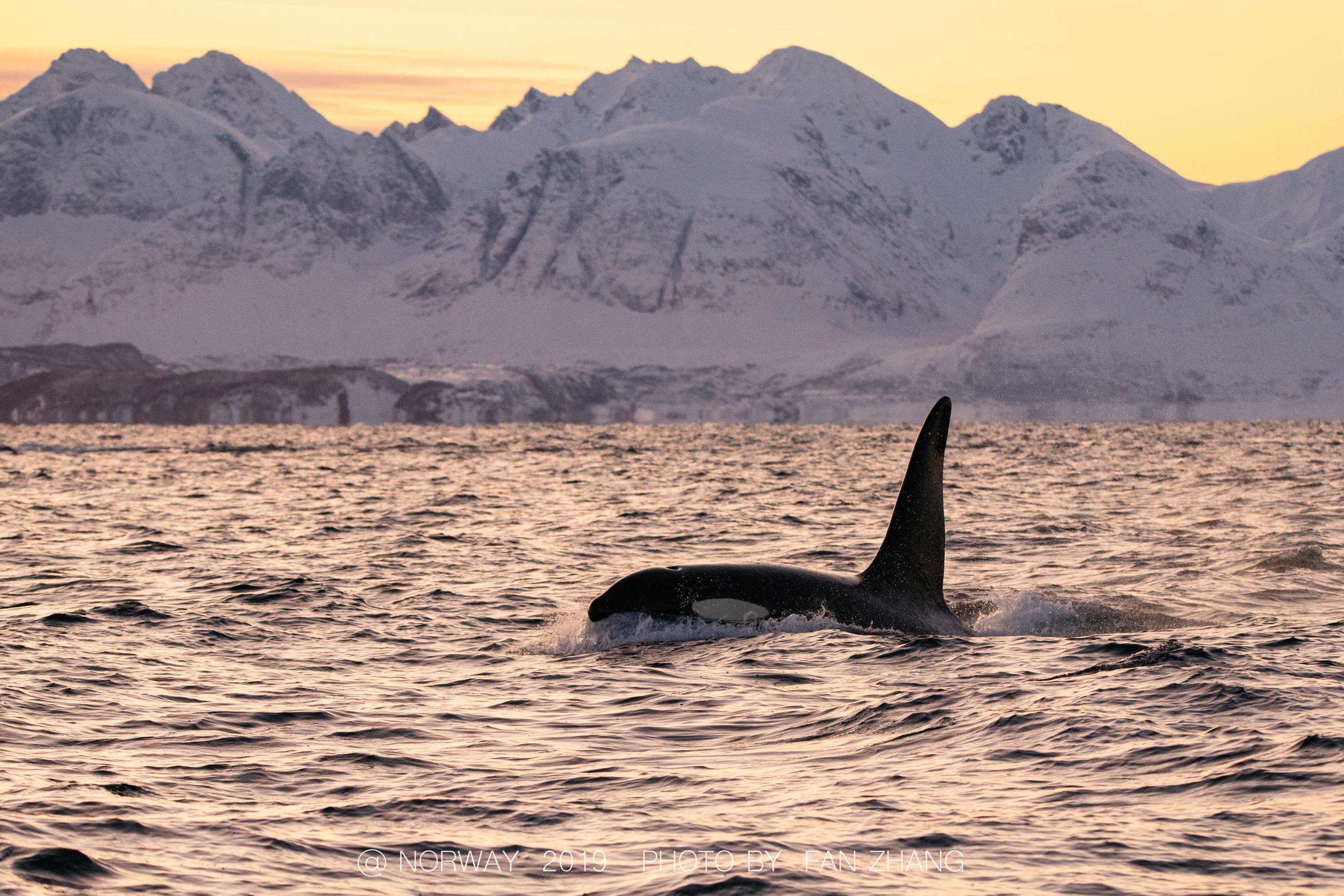 一头巨大的雄鲸独自徘徊在峡湾中 涨姿势 第3张