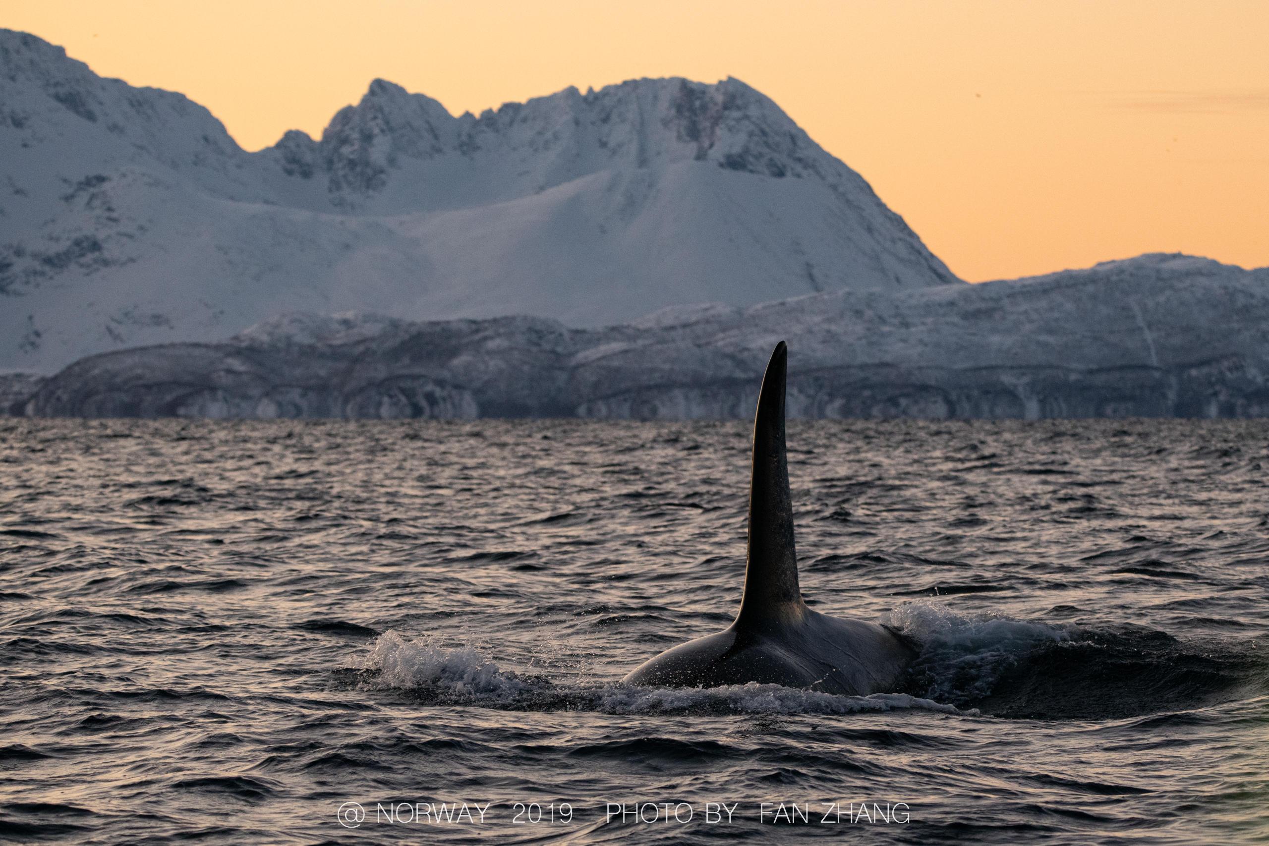 一头巨大的雄鲸独自徘徊在峡湾中 涨姿势 第6张