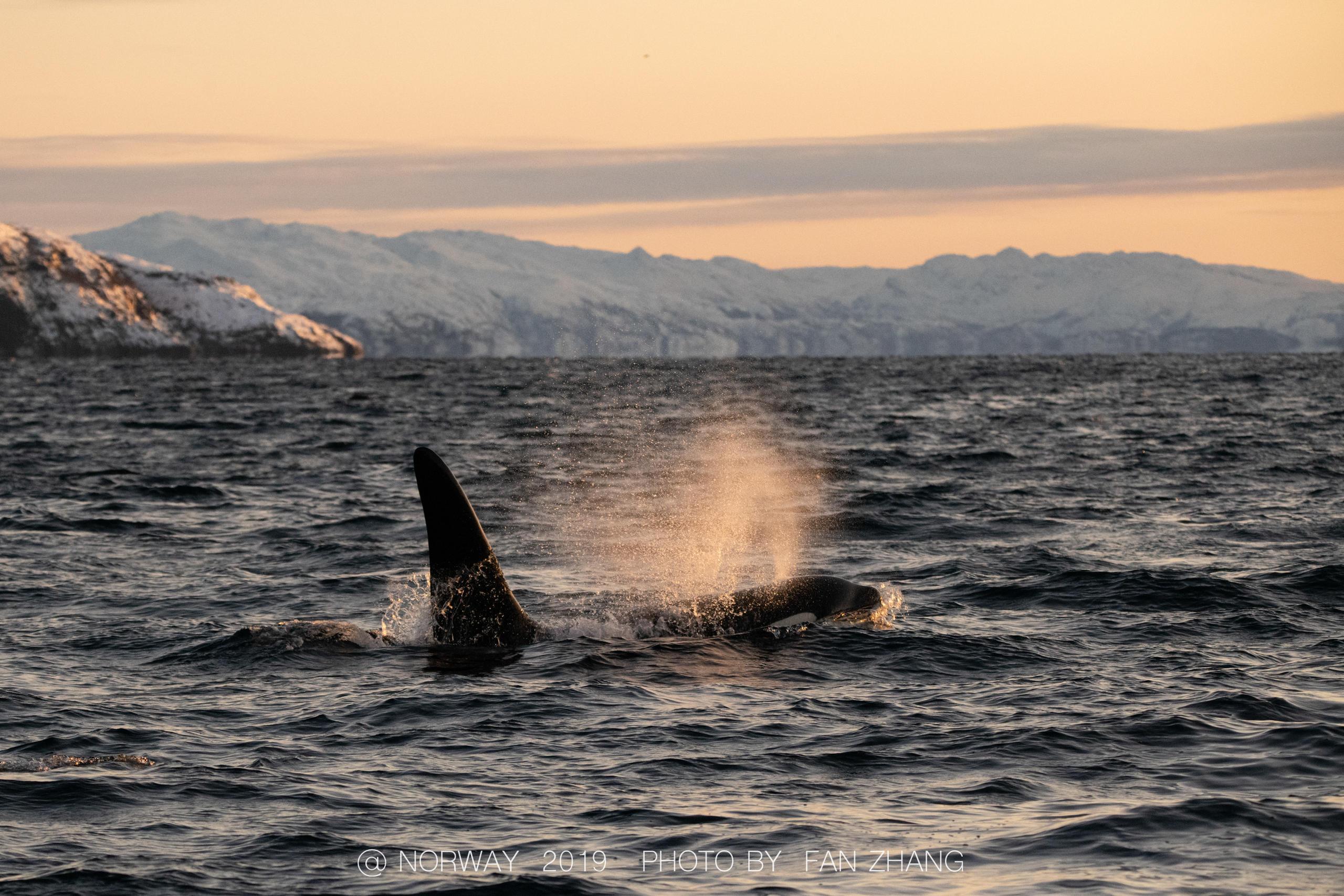 一头巨大的雄鲸独自徘徊在峡湾中 涨姿势 第4张