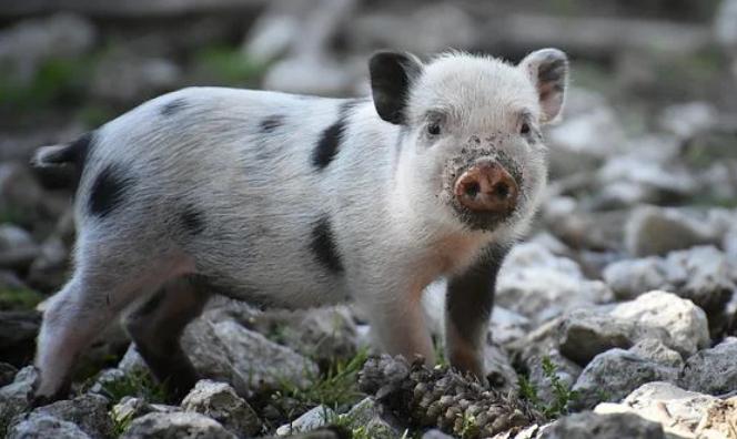 这届地产商开始报复性养猪了 一本道 第1张