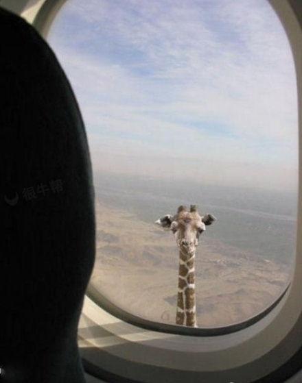 这长颈鹿也太长了哈~