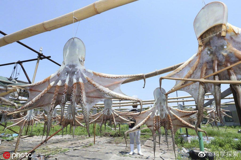 日本晾晒章鱼干的场面克味很浓 涨姿势 第2张