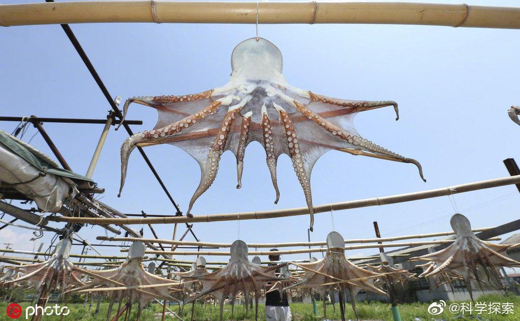 日本晾晒章鱼干的场面克味很浓 涨姿势 第4张