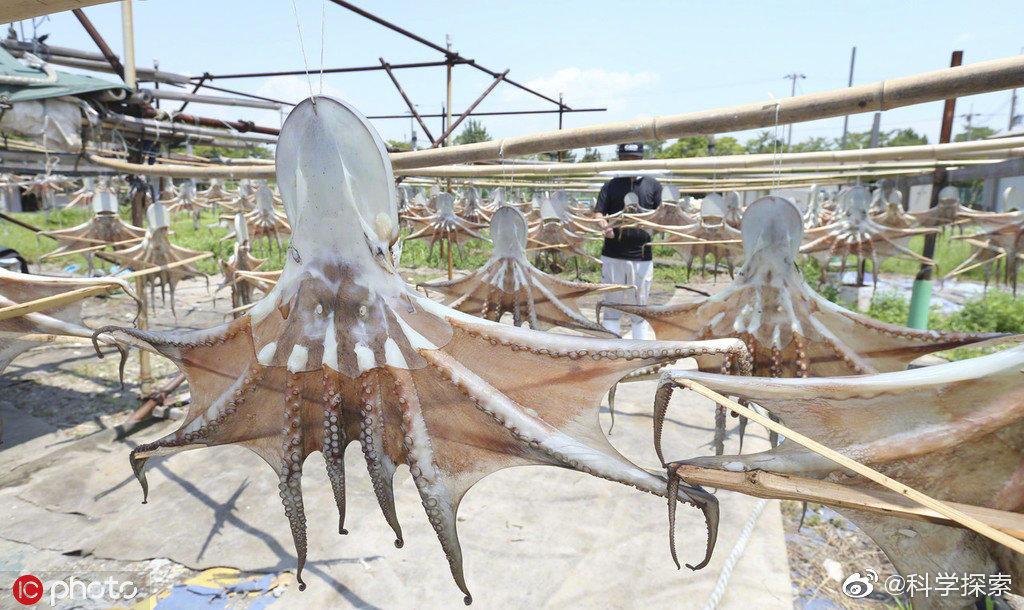 日本晾晒章鱼干的场面克味很浓 涨姿势 第5张