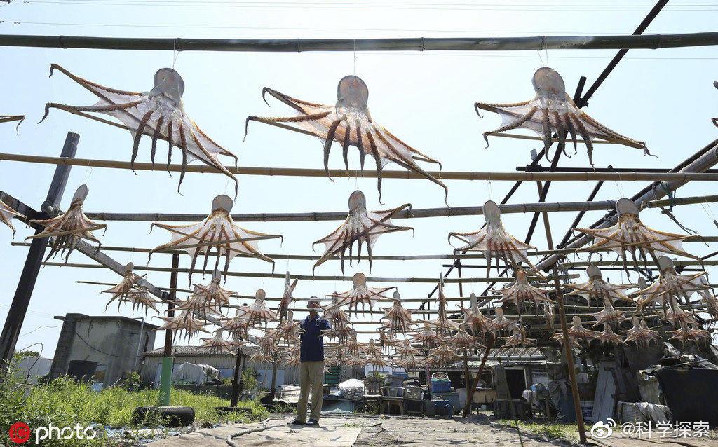 日本晾晒章鱼干的场面克味很浓 涨姿势 第6张