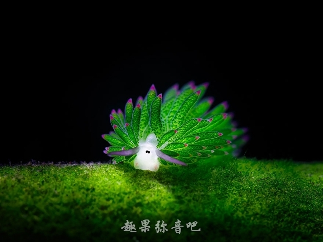 「海底羊咩咩」:看似呆萌却是地球上唯一进行光合作用的动物-爱趣猫