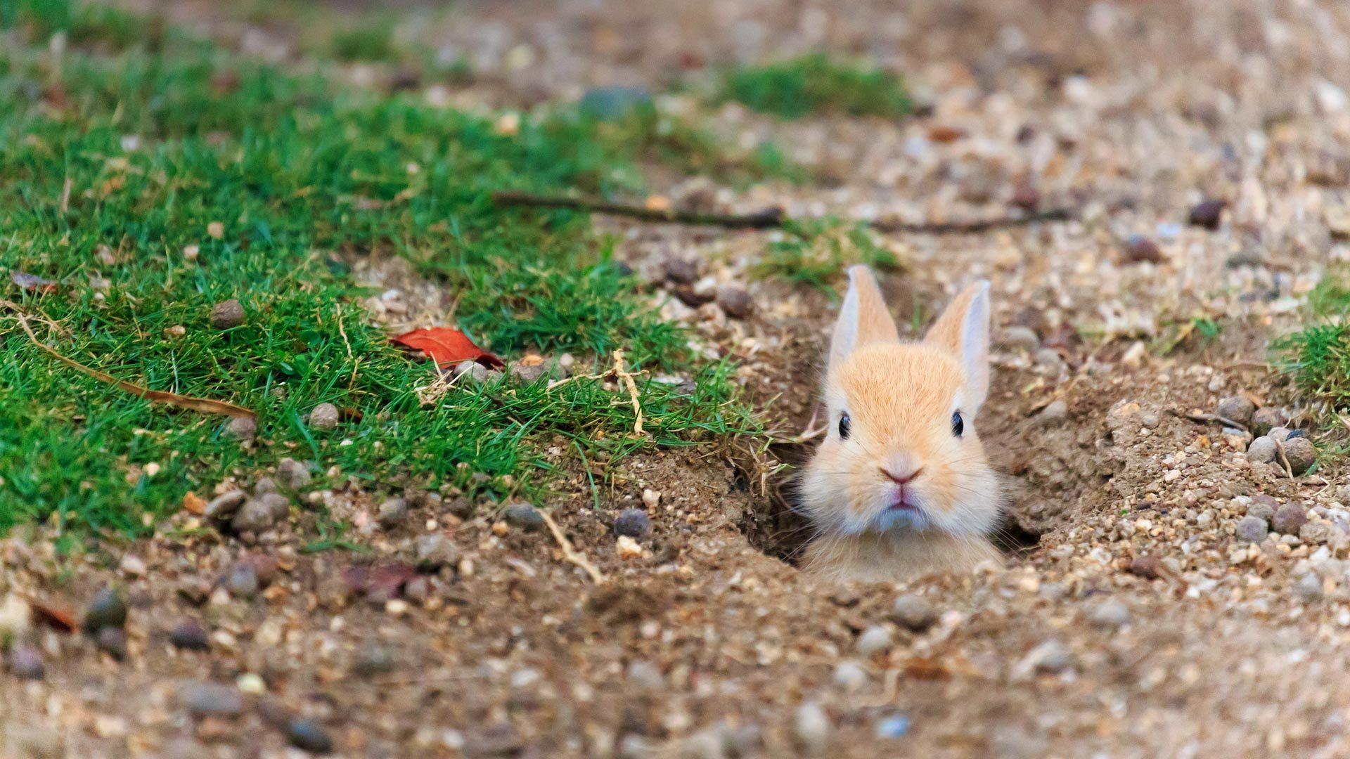 兔子岛的小野兔