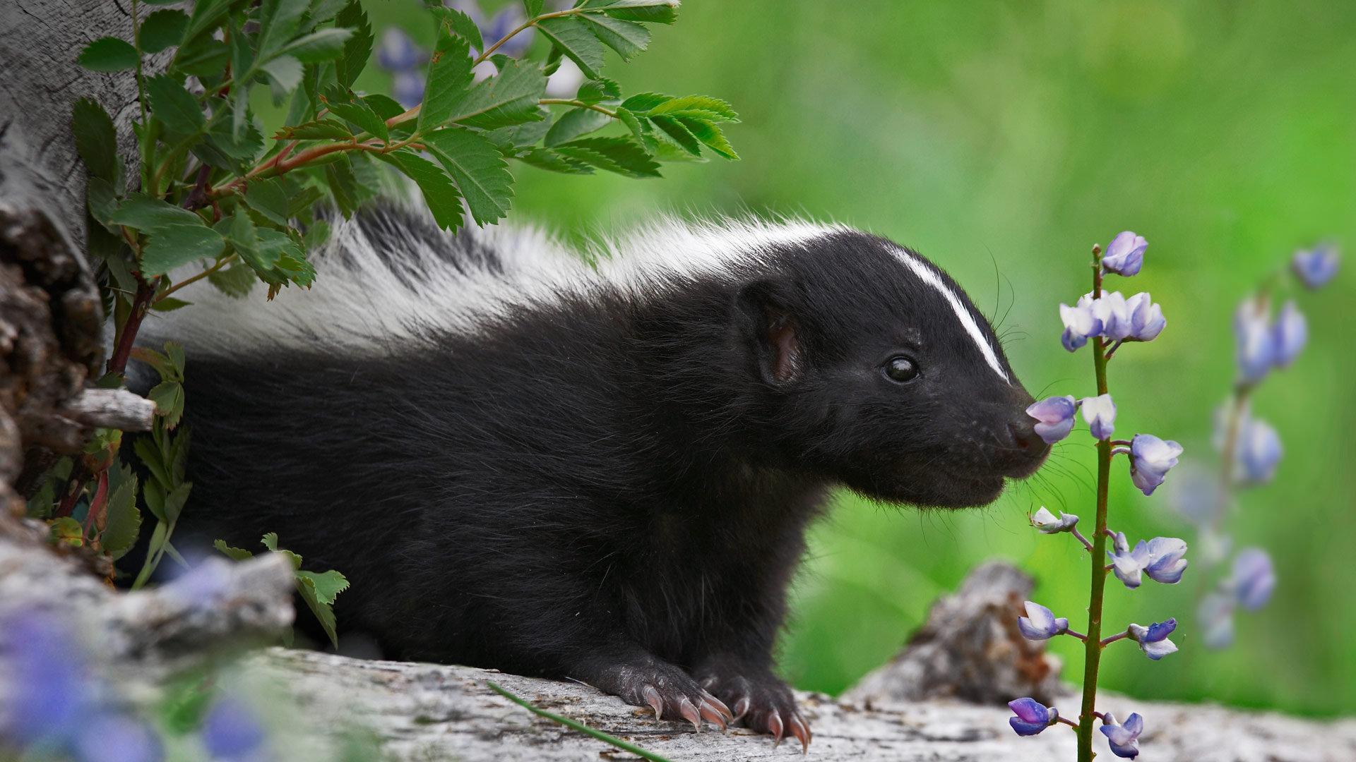 正在闻花香的臭鼬