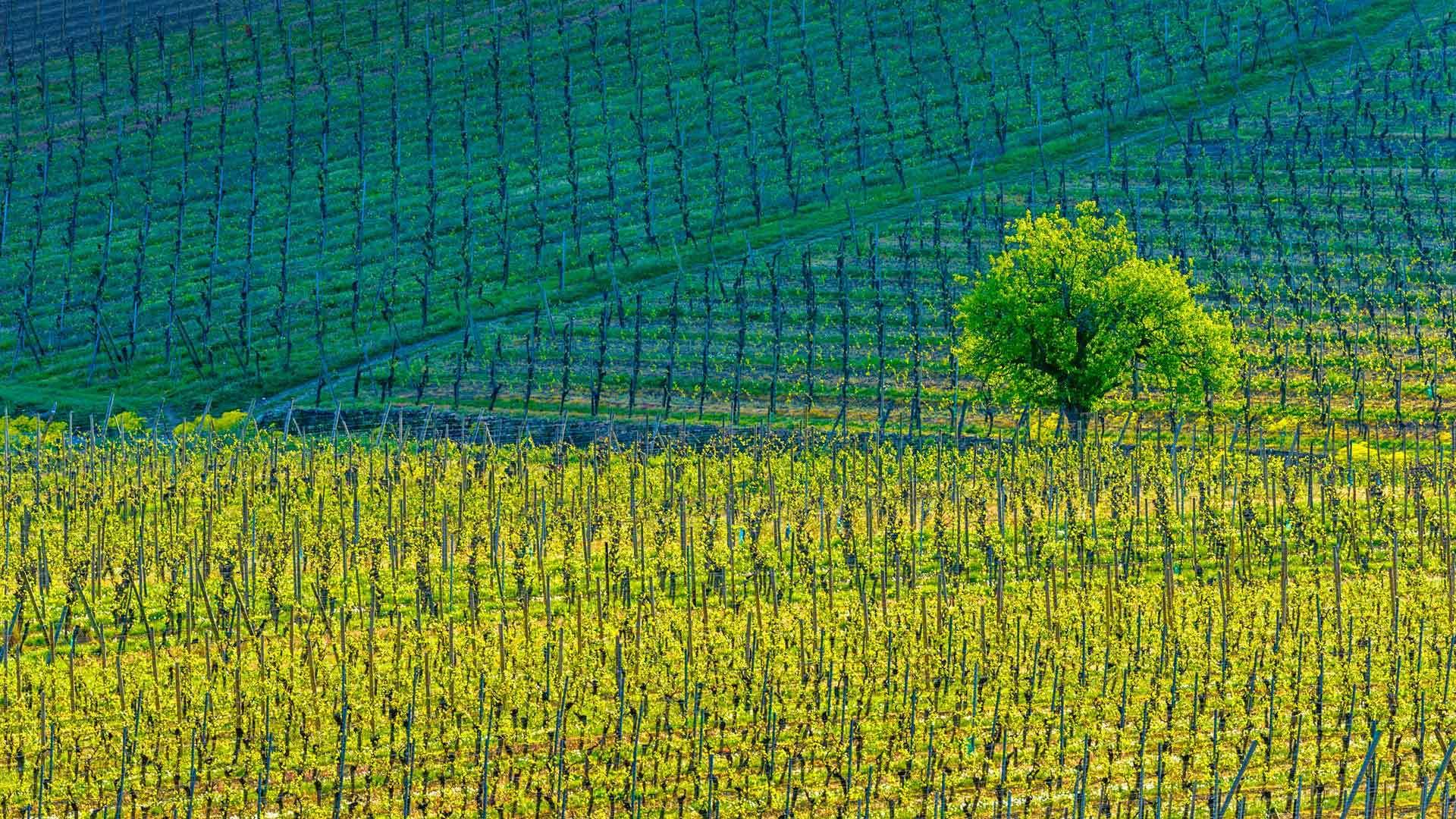 飘香四溢的葡萄酒庄园