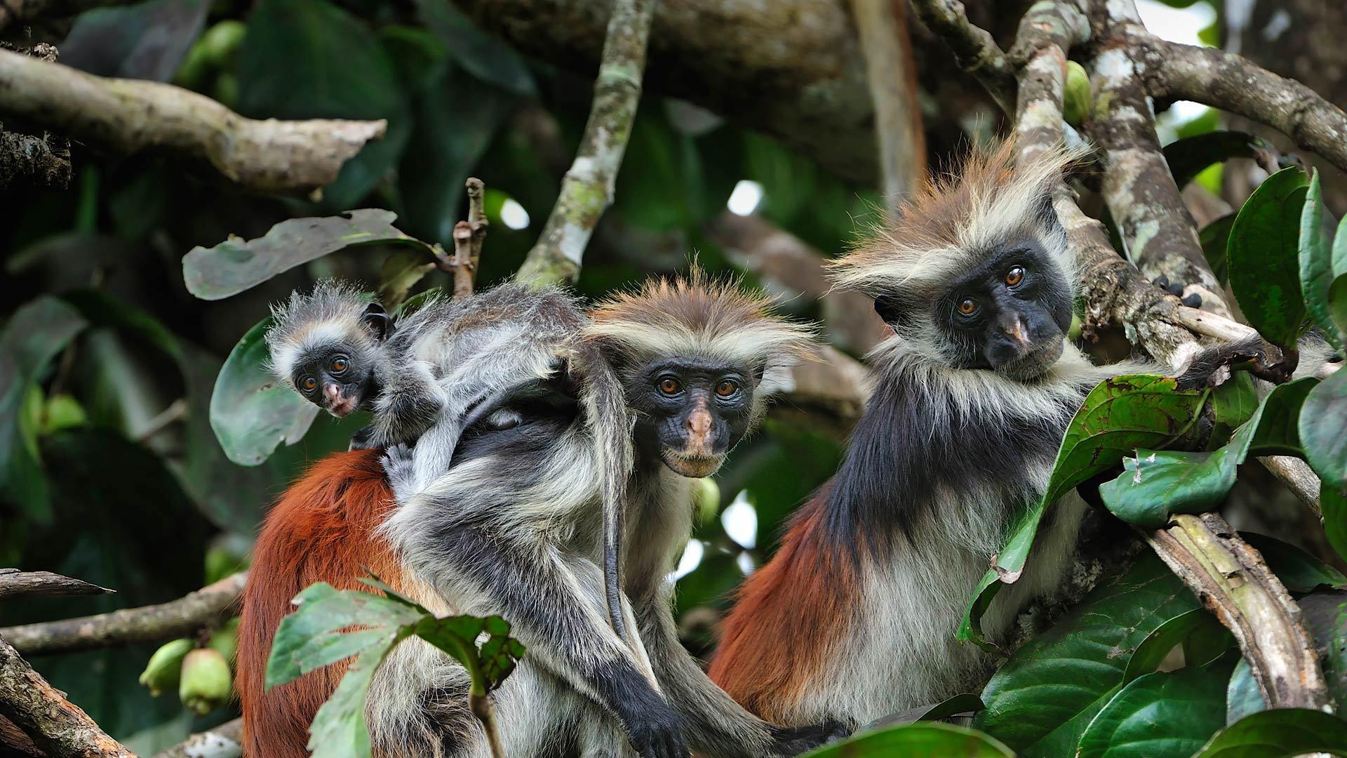 几近灭绝的红疣猴