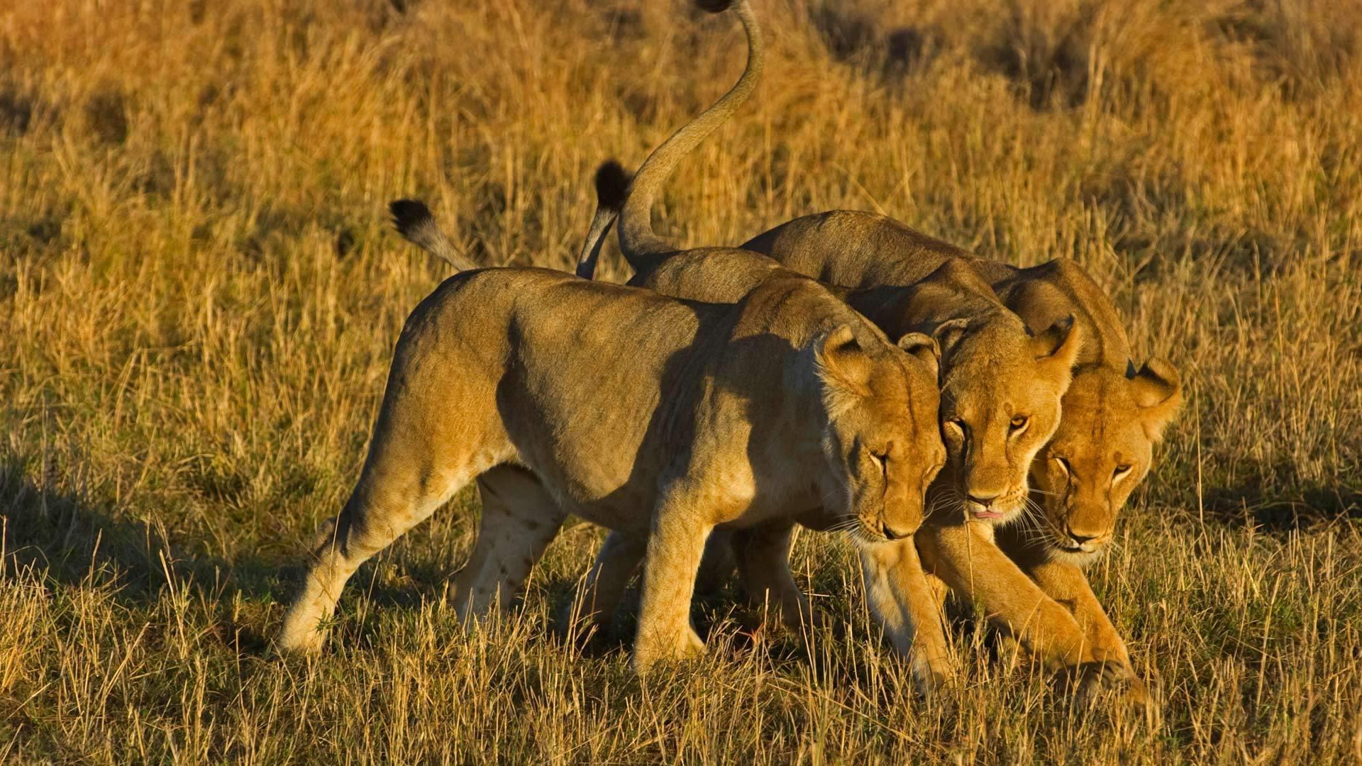 草原之王的非洲狮