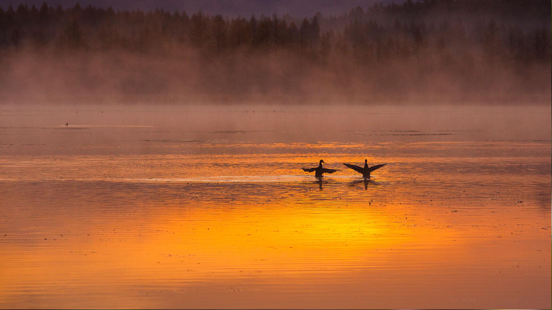 浪漫唯美的天鹅