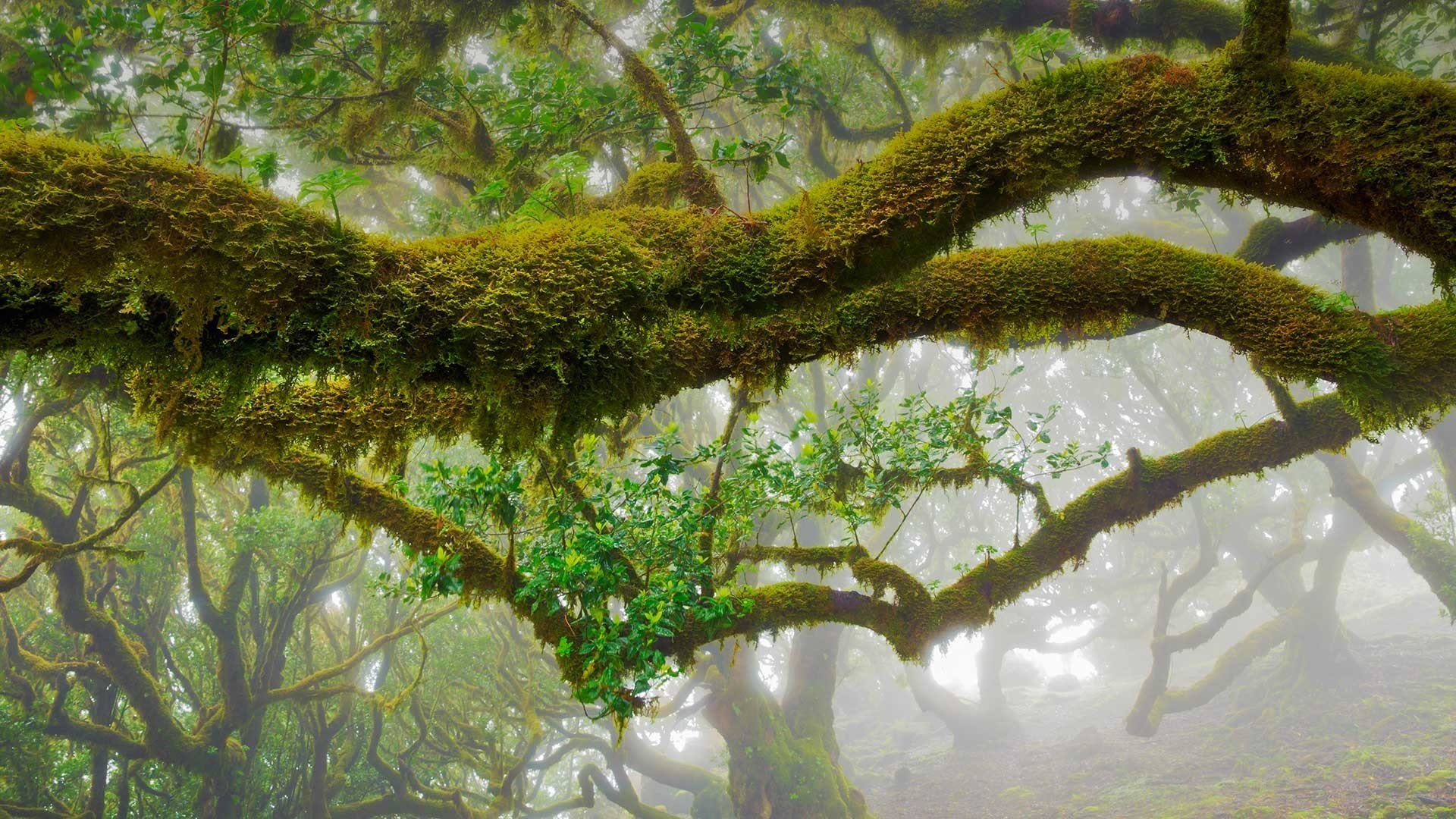 马德拉的月桂树林