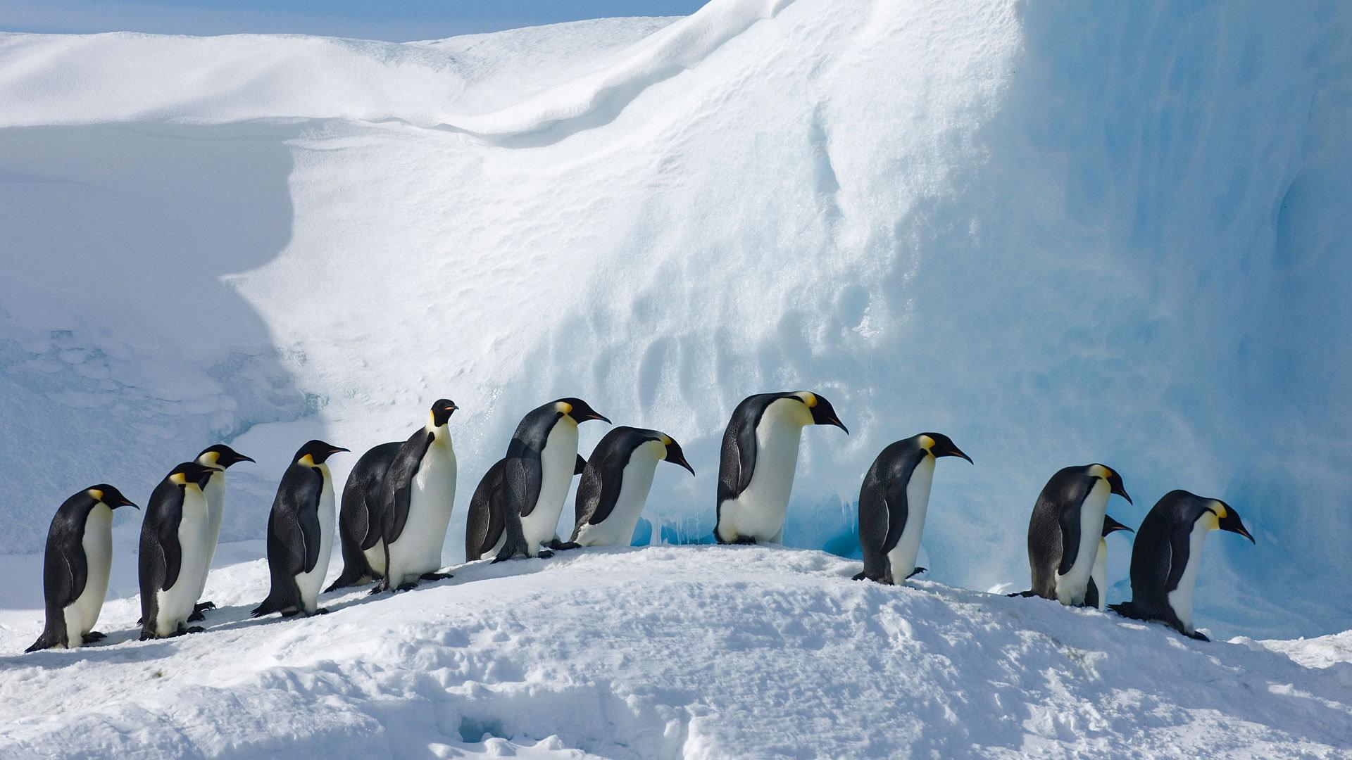 企鹅家族的大个子