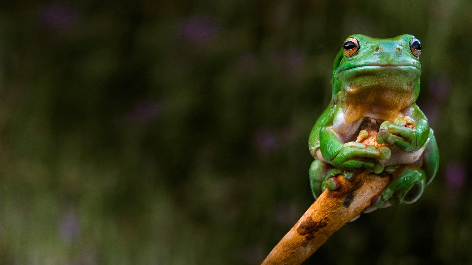 紧抱着树梢的青蛙