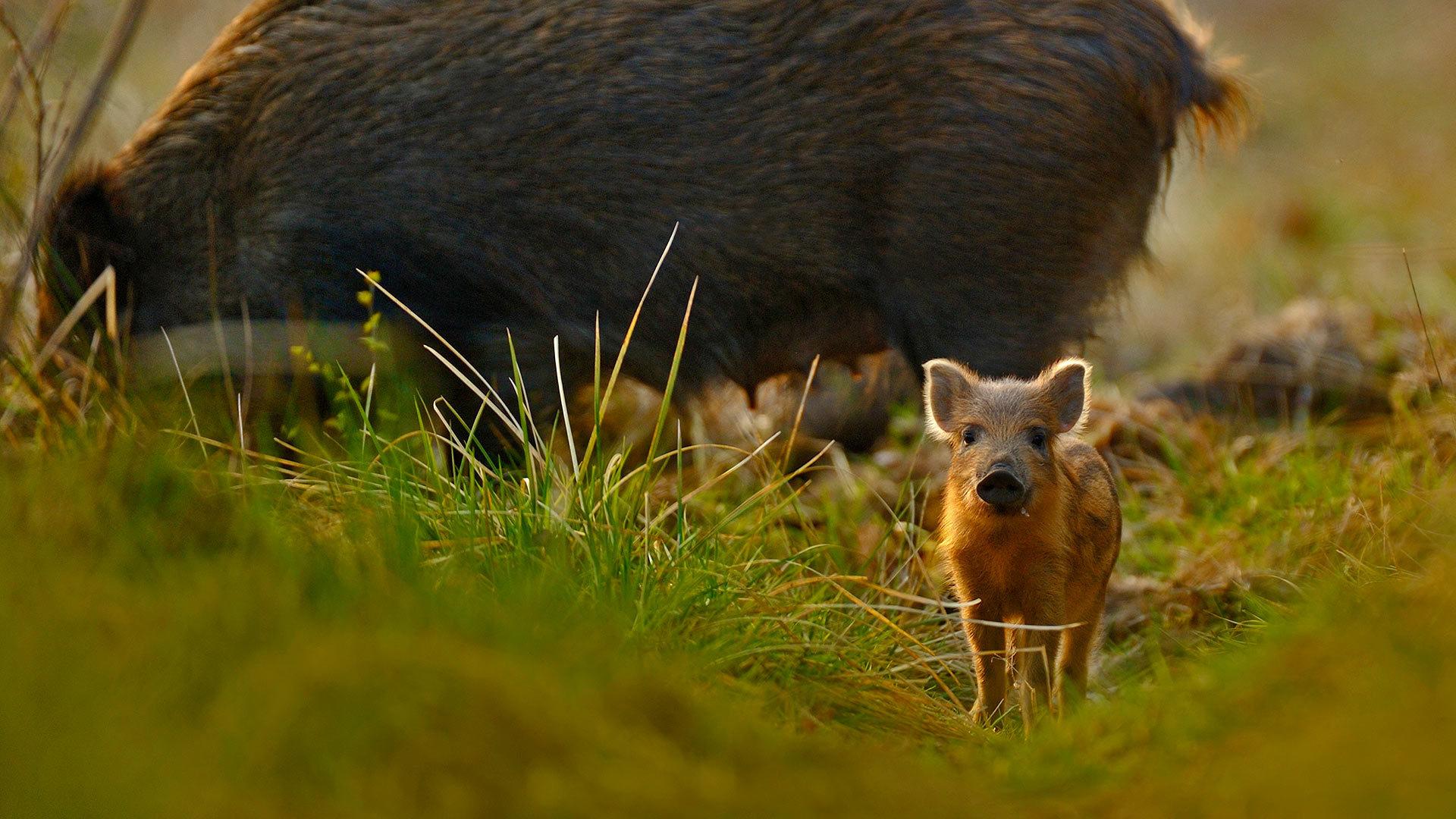 迪恩森林里的小猪