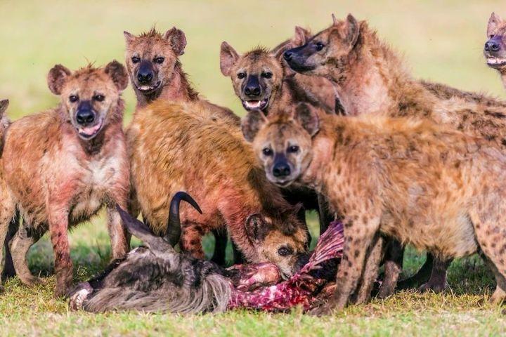 """斑鬣狗这种动物太魔幻了,雌性和雄性都长着""""丁丁"""" 涨姿势 第1张"""