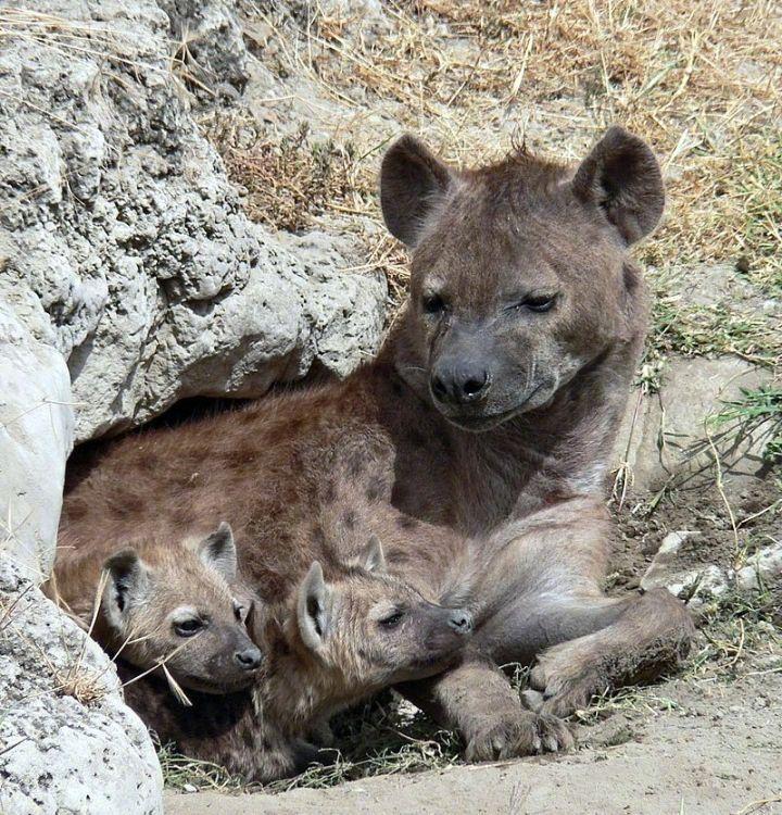 """斑鬣狗这种动物太魔幻了,雌性和雄性都长着""""丁丁"""" 涨姿势 第4张"""
