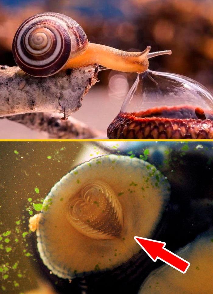 蜗牛约有两万个牙齿,是地球上牙齿最多的生物。  涨姿势 第1张