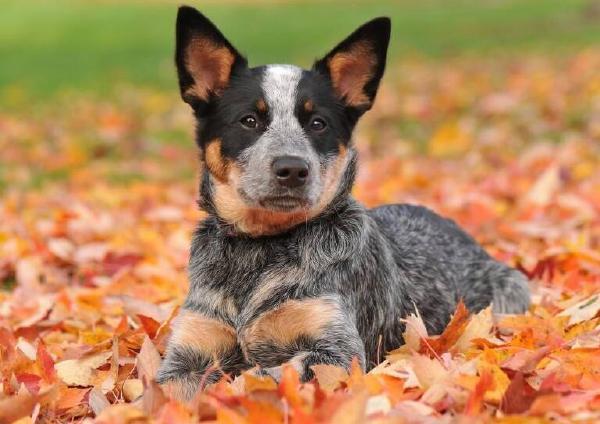 十大高智商狗狗品种排行榜 世界最易训练的狗排名
