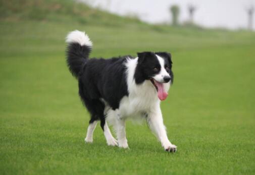 十大搜救犬品种排行榜 世界最出名的搜救犬排名