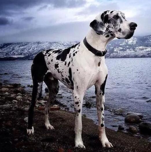 世界十大大型犬排行榜 世界体型最大的狗狗排名