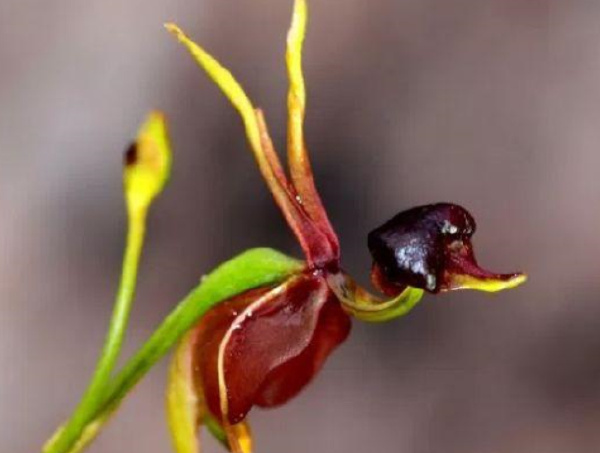 世界十大最像动物的植物排行榜:意大利红门兰酷似裸男