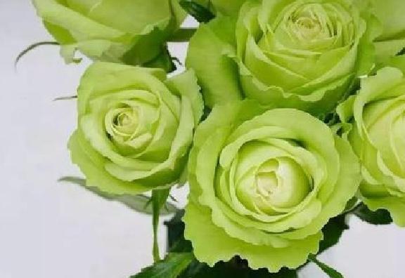 十大名贵玫瑰花品种排行榜:朱丽叶价值300万英镑