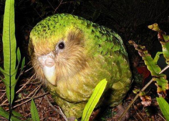 世界十大珍稀鸟类排行榜 濒临灭绝的鸟类排名