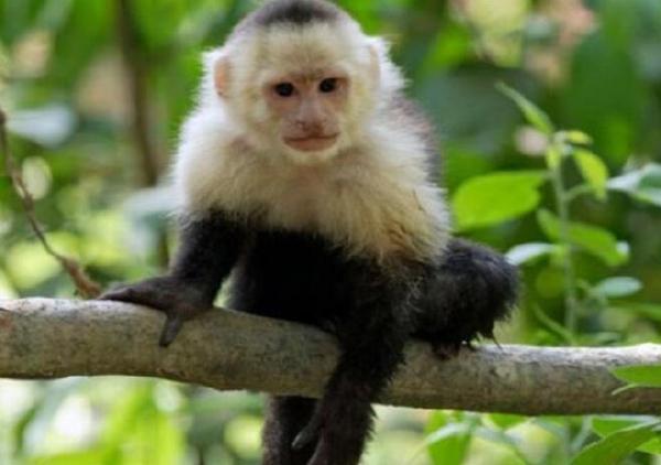 世界十大稀有猴子排行榜:卷尾猴性格温顺聪明伶俐