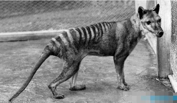 近年灭绝的十大动物排行榜:爪哇虎于1983年宣告灭绝