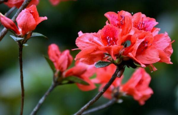 十大不吉利的花排行榜:罂粟花花语为死亡之恋