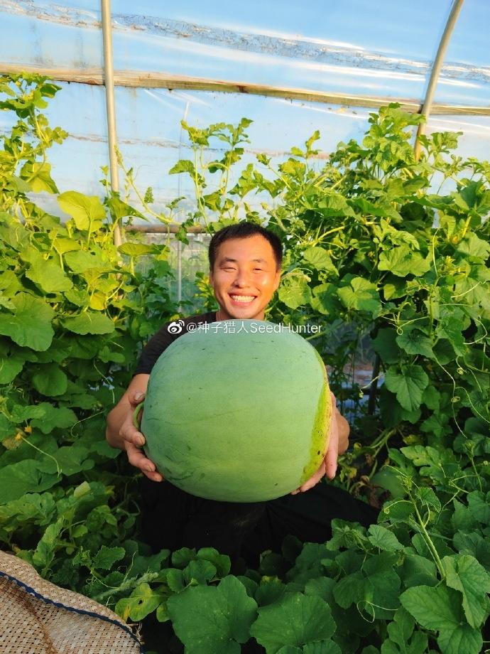 100 年前的顶级西瓜品种在国内试种成功:重达 30 斤 猪都不吃-前方高能