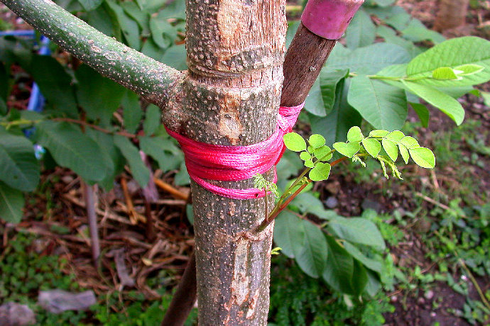 辣木树怎么进行种植管理