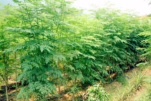 这种树被称为「生命之树」,是穷人的牛奶,长寿的食材! 认识辣木