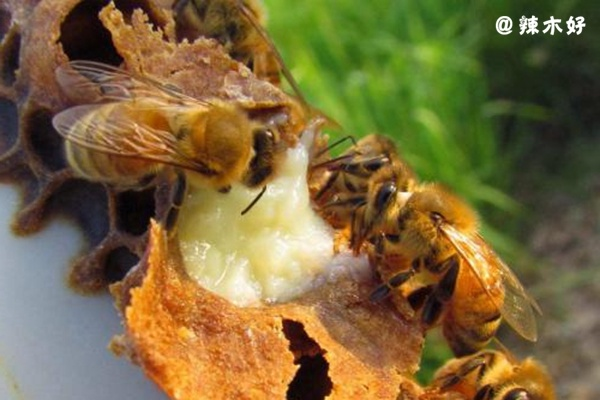 蜂王浆独有的 DNA,揭开幼蜂蜕变蜂后的秘密