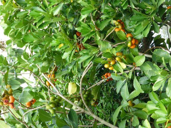 植物图赏:兰屿山马茶 农村种植赚钱