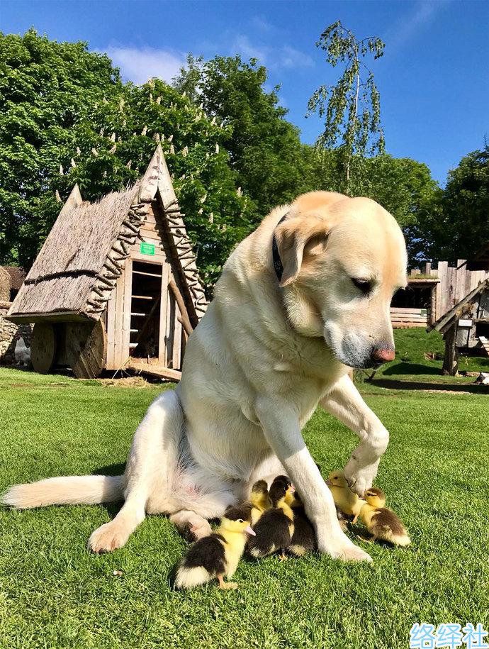 汪星人奶爸!英国拉布拉多犬fred收养一群鸭宝宝