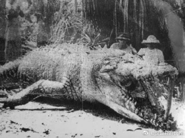 1957年澳大利亚记录下来捕获最大的鳄鱼。 