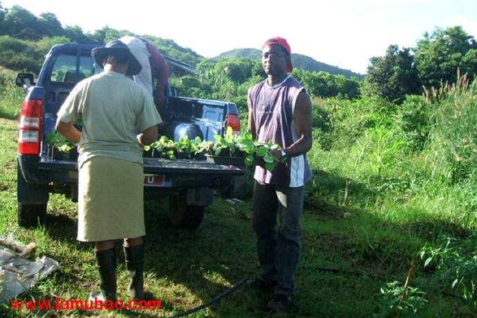 毛里求斯辣木事业如火如荼 国外辣木