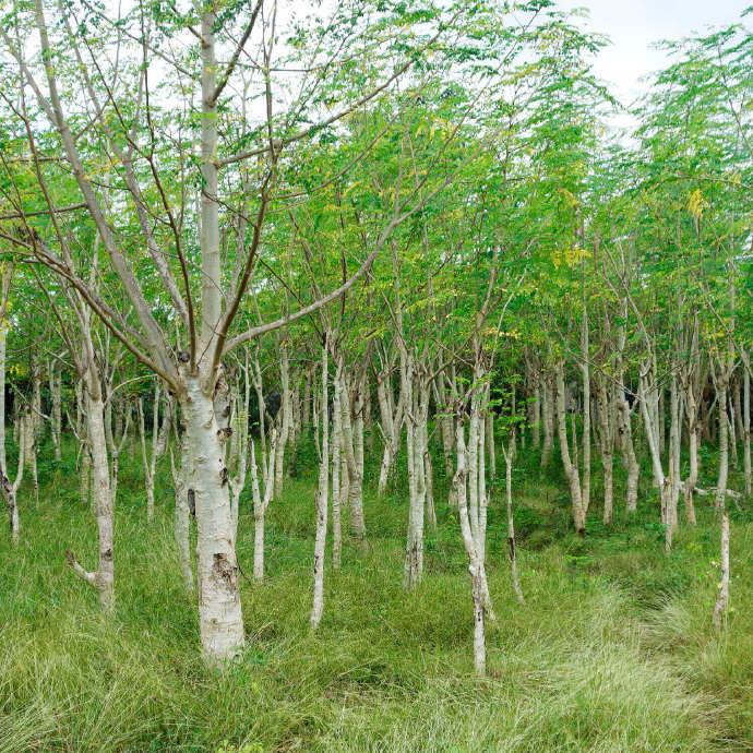 纽约杂志:辣木是一种非常好的树 国外辣木
