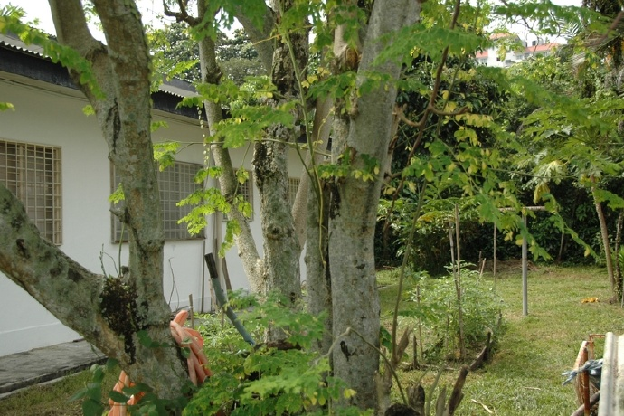 如何在庭院里栽种一颗辣木树