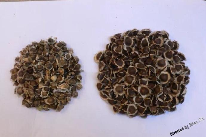 辣木籽多少钱一斤?这才是干货!