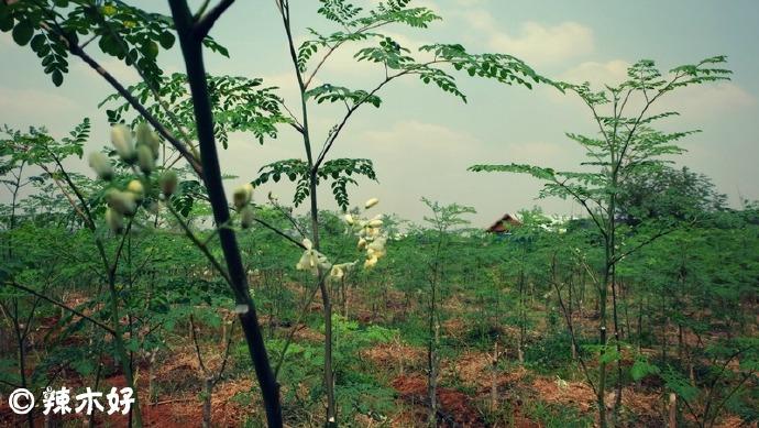 柬埔寨有机辣木农场<多图> 辣木种植