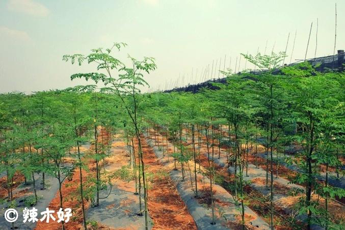 柬埔寨有机辣木农场<多图>