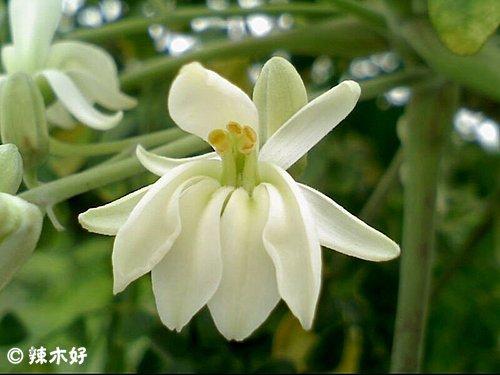 辣木树的功效与作用「台湾版」 认识辣木