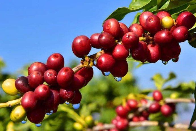 解培惠:咖啡是最美的树种之一