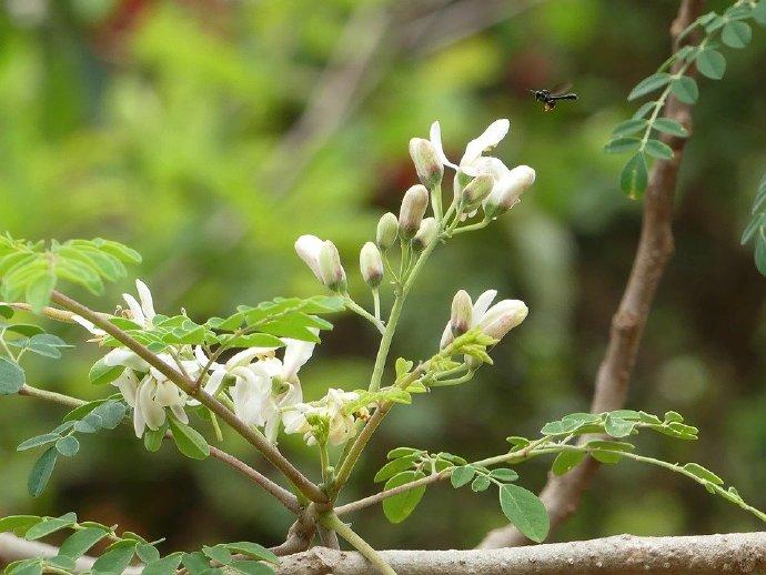 辣木,健康和生命之树的美丽邂逅 健康百科