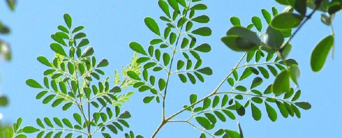评果壳网辣木,辣木的药用价值是无法否认的事实